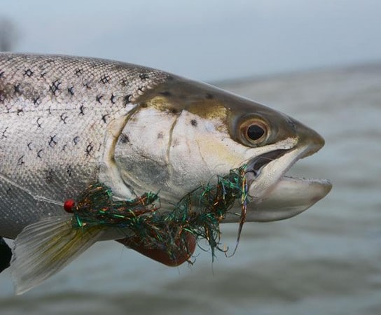 kystflue alive børsteorm jesper go fishing havørredflue