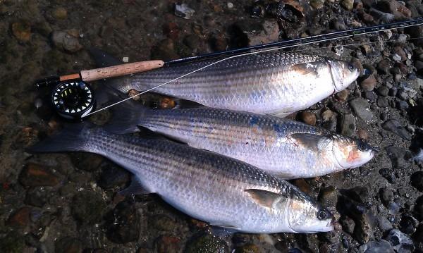 Multefiskeri på flue multefluen fluffy