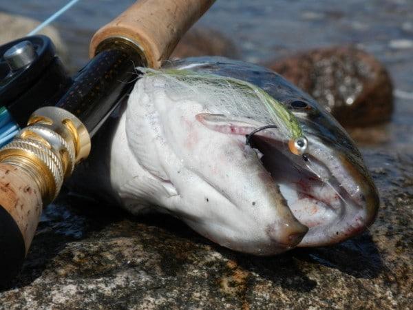 Baitfish tobis kystflue, tobis flue til havørred
