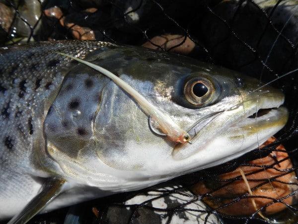 petit tobis kystfluen til majspringerne jesper l. anderse go fishing