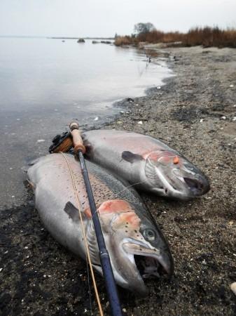 2 regnbueørreder udslip i horsens fjord pro loppen