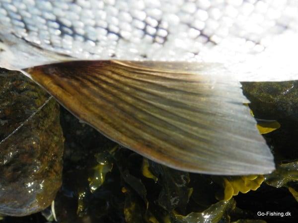 havørred nøglefisker vandplejefyn