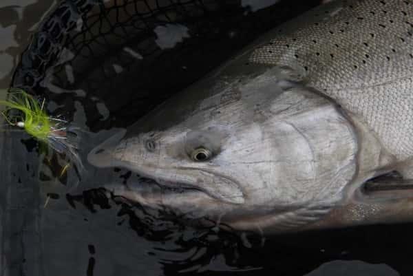 chinook fishing chinookfly intruder for Kingsalmon